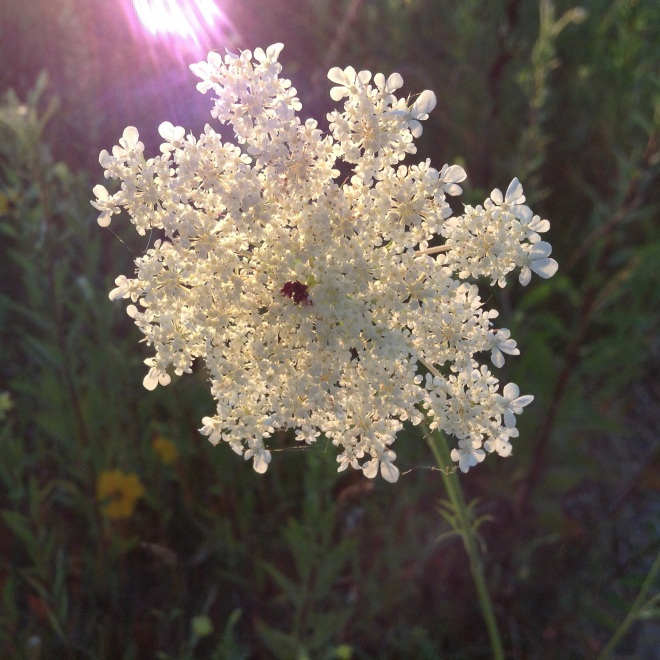 Queen Ann's Lace a favorite among the many.